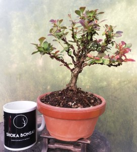 Barberry Purple Berberis Bonsai tree in training