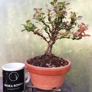 Barberry Purple Berberis Bonsai tree in training