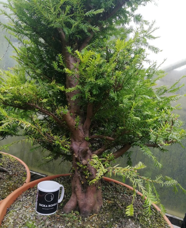 Hugh Taxus Yew Bonsai Material