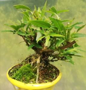 Flowering Weigela mini bonsai tree