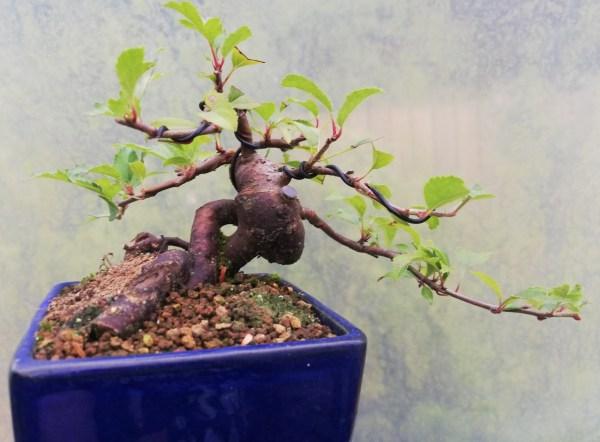 Japanese Crab apple small bonsai