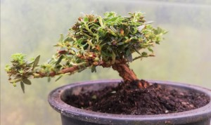 Miniature Rhododendron Alpine Bonsai tree in training