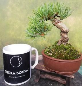 Shohin Japanese White Pine Bonsai