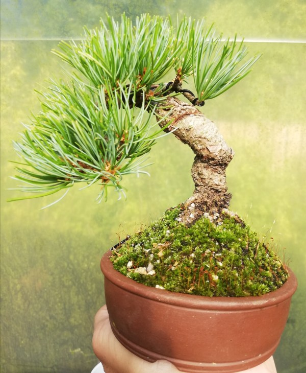 Shohin Japanese White Pine Bonsai