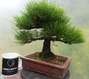 High quality Japanese Black Pine Bonsai