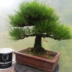 High quality Japanese Black Pine Bonsai