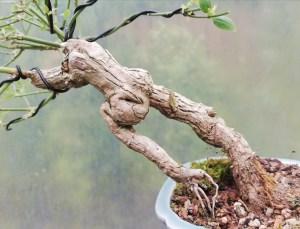 Jasmine Stephanense, summer flowering Bonsai Tree