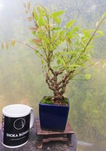 Unique Shohin Wisteria Bonsai