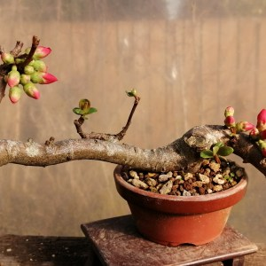 Quince flowering Bonsai Material