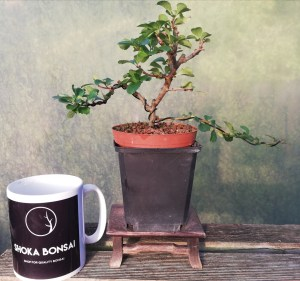 Chojubai Bonsai Tree Dwarf Quince