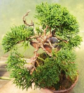 Superb Chinese Juniper bonsai Tree