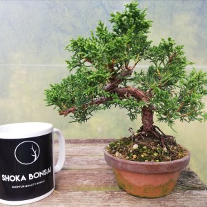 Chinese Juniper Shohin Bonsai Tree in training