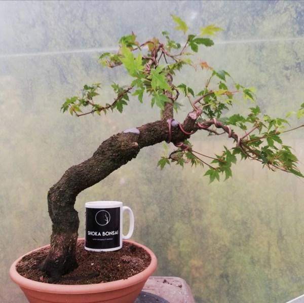 Acer Palmatum Arakawa Rough Bark Maple