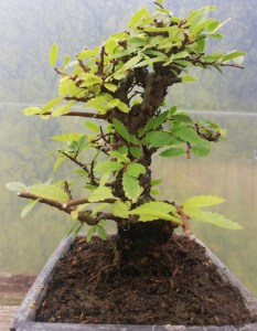 Cork Bark Chinese Elm Bonsai Tree