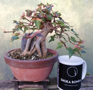 Trident Maple Shohin Root over Rock Bonsai Tree in Training