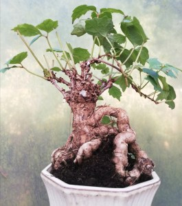 Boston Ivy / Parthenocissus Tricuspidata Bonsai Tree