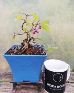 Callicarpa, Japanese Beauty Berry starter Bonsai