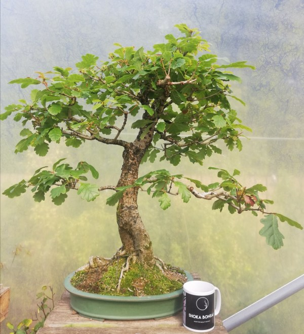 Large Old Quercus Robur, English Oak Bonsai