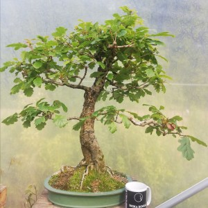 Large Old Quercus Robur, English Oak Bonsai