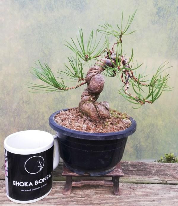 Pinus Sylvestris Bonsai Tree Material