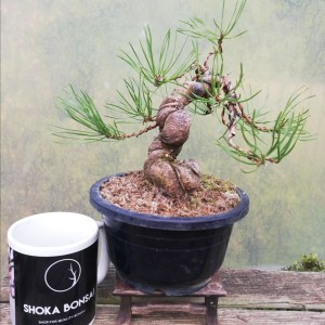 Pinus Sylvestris Bonsai Tree Material