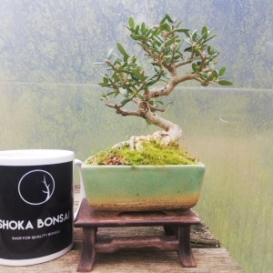 Olea Olive Shohin Bonsai Tree