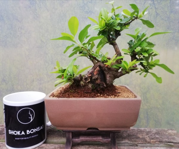 Shohin Bonsai Pyracantha tree in training