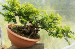 Taxus Yew raw Bonsai Material