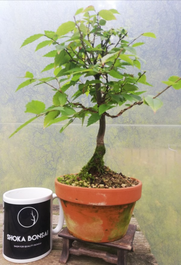 Zelkova Serrata/Japanese Grey Bark Elm Bonsai Tree