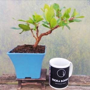 Arbutus Unedo Strawberry Tree bonsai starter material