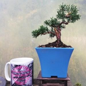 Chinese Juniper Shohin Bonsai Starter Tree