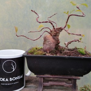 Japanese Crab Apple bonsai Starter Material