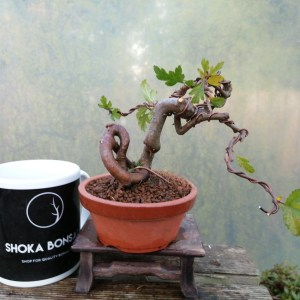 Japanese Crab Apple Starter Bonsai Tree