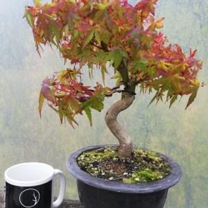 Japanese Maple Acer Palmatum bonsai in training