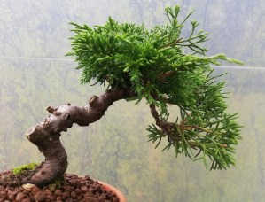Juniper Itoigawa starter Bonsai Tree