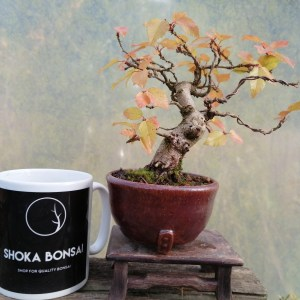 Korean Hornbeam Shohin Bonsai Tree