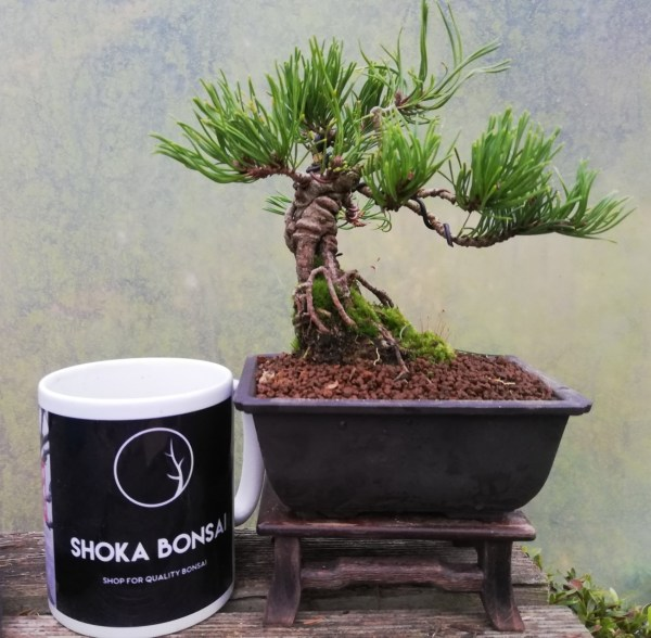 Pinus Mugo Bonsai Tree