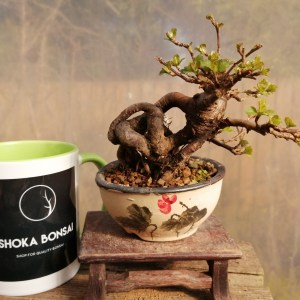 Stunning Japanese Crab apple small bonsai