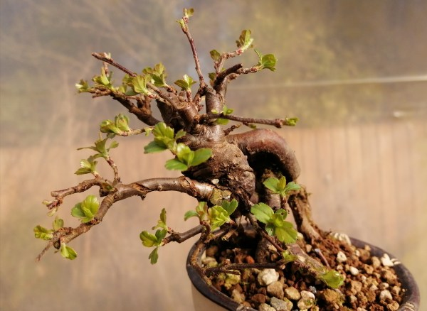 Stunning Japanese Crab apple small bonsai