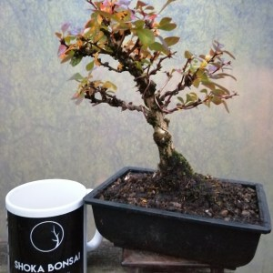 Barberry/Berberis atropurpurea Bonsai in training