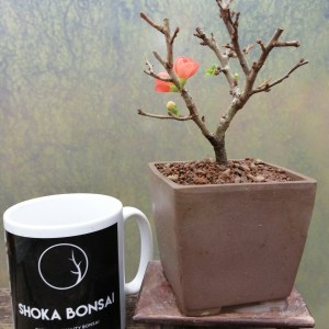 Chojubai Dwarf Japanese Quince Bonsai
