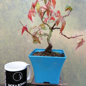 Japanese Maple Acer Palmatum starter bonsai material