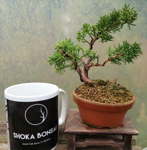 Small Chinese Juniper shimpaku Bonsai