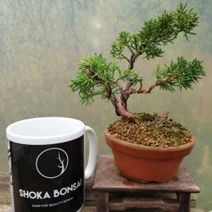 Small Chinese Juniper shimpaku Bonsai