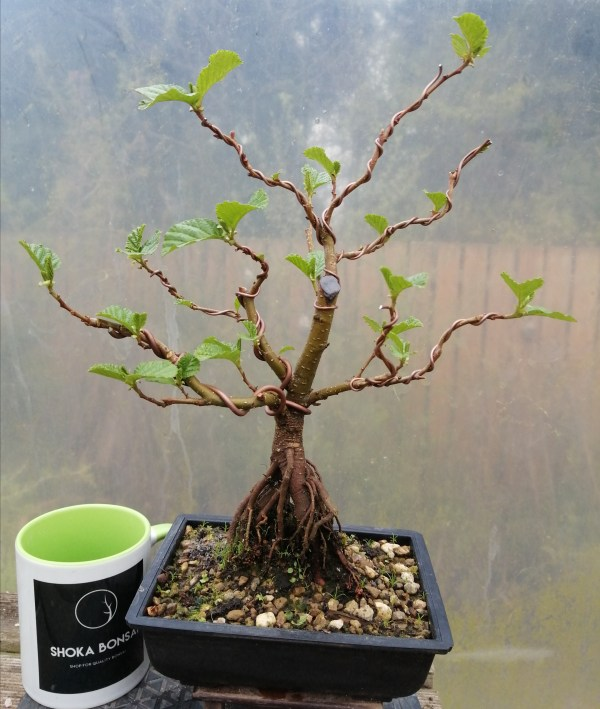 Alder Bonsai Tree