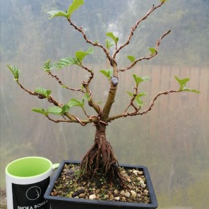 Alder Bonsai Tree