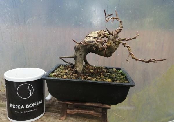 European Beech Deadwood Bonsai Yamadori Shohin