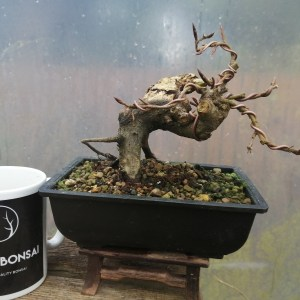 European Beech Deadwood Bonsai Yamadori Shohin