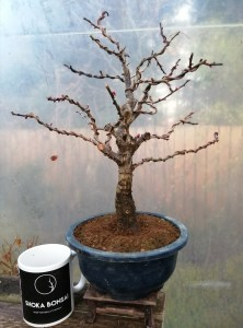 Prunus Mume Japanese Apricot Bonsai Tree