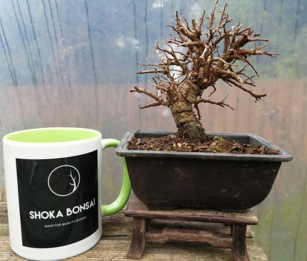 Cork Bark Elm Bonsai Tree